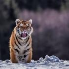 Tiger_im_Schnee