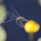 Libellenflug