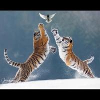 "Johnny Krüger - ""tiger-battle"" - Annahme"
