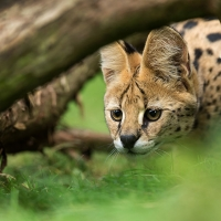 serval hunt / Johnny Krüger
