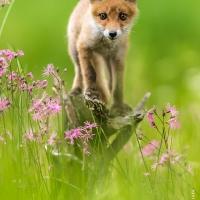 nosey young fox / Johnny Krüger