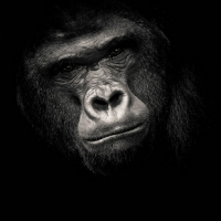 """""""Planet of the apes 4"""" / LAFO 2018 - Dirk Zimmermann (Serie - Annahme)"""