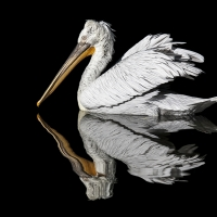 """Pelikan 9"" / Lafo 2019 - Stanislav Belicka (Annahme)"