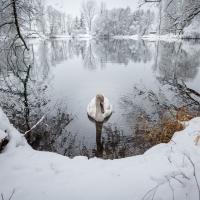 Neugieriger Schwan / Peter Jansen