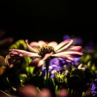 Blume im Licht / Peter Jansen