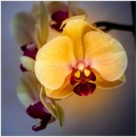 Orchidee / Peter Jansen