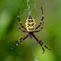 Wespenspinne (weiblich)