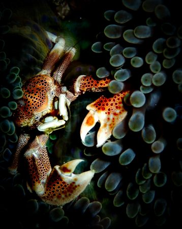 Krebs zwischen Korallen